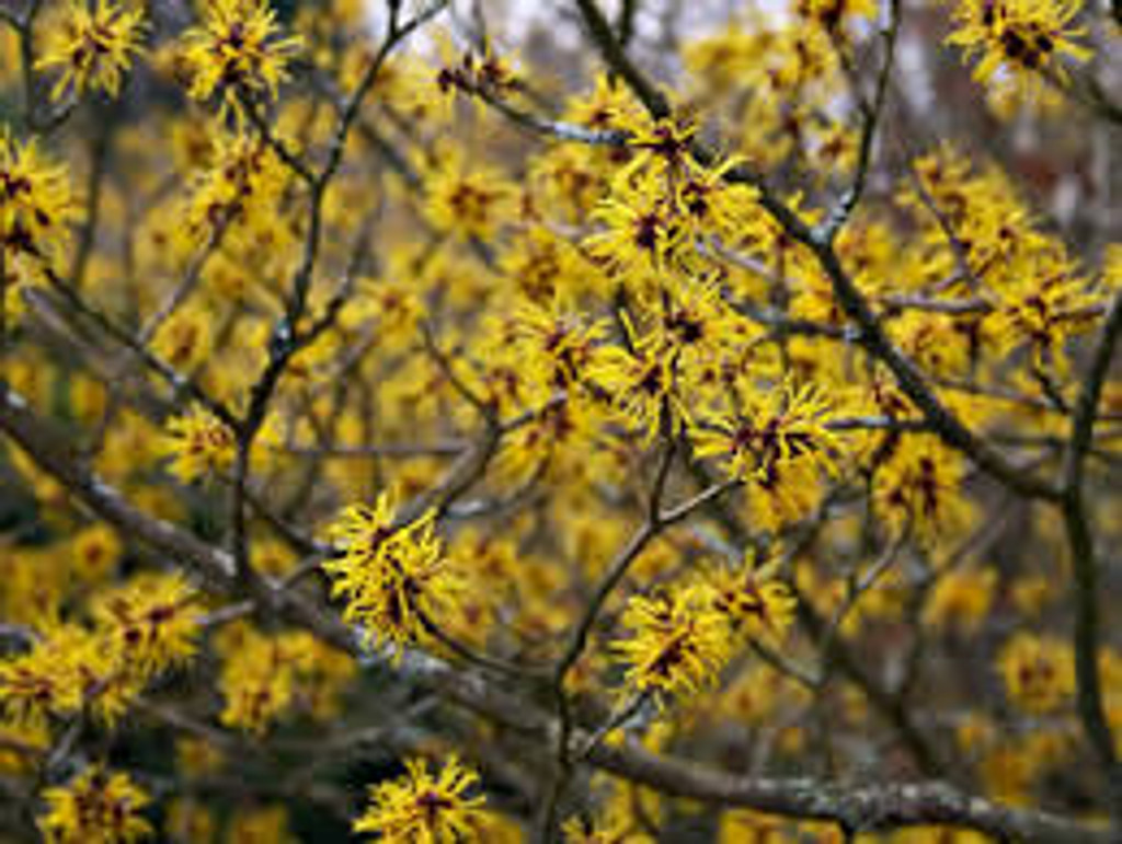 Hamamelis virginiana Witch Hazel SOLD OUT