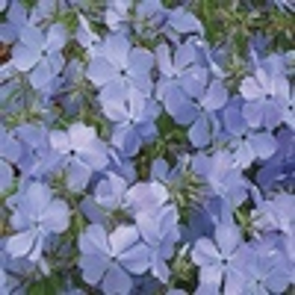 Phlox divaricata Blue Moon 1gallon