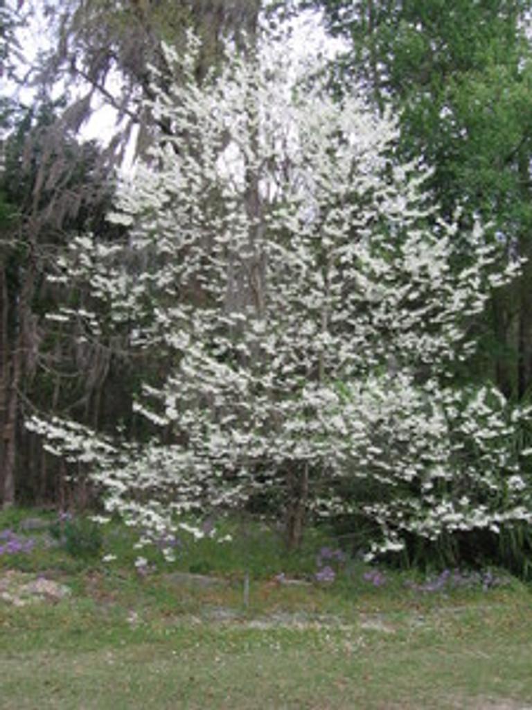 Halesia diptera magniflora Big Flowered Silverbell