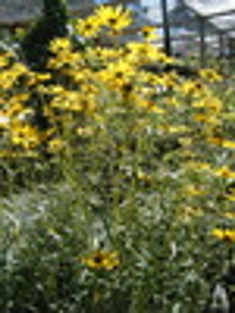 Helianthus angustifolius Narrow Leaf Sunflower