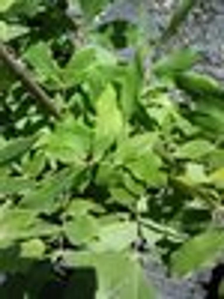 Carya myristiciformis Nutmeg Hickory 1gallon