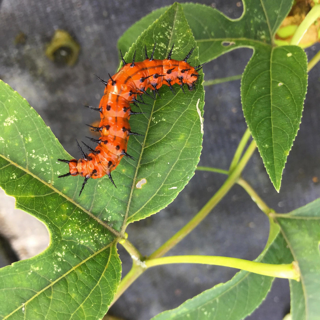 Fritillary caterpillar feeding on Passion Vine