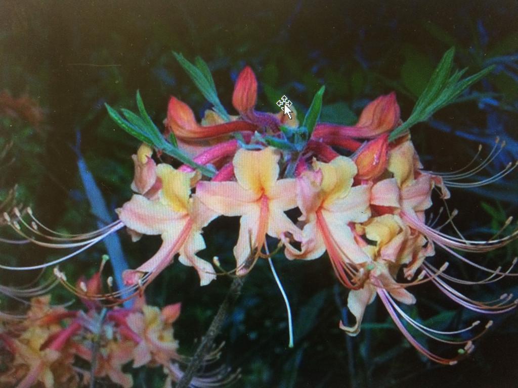 Rhododendron austrinum Reagan