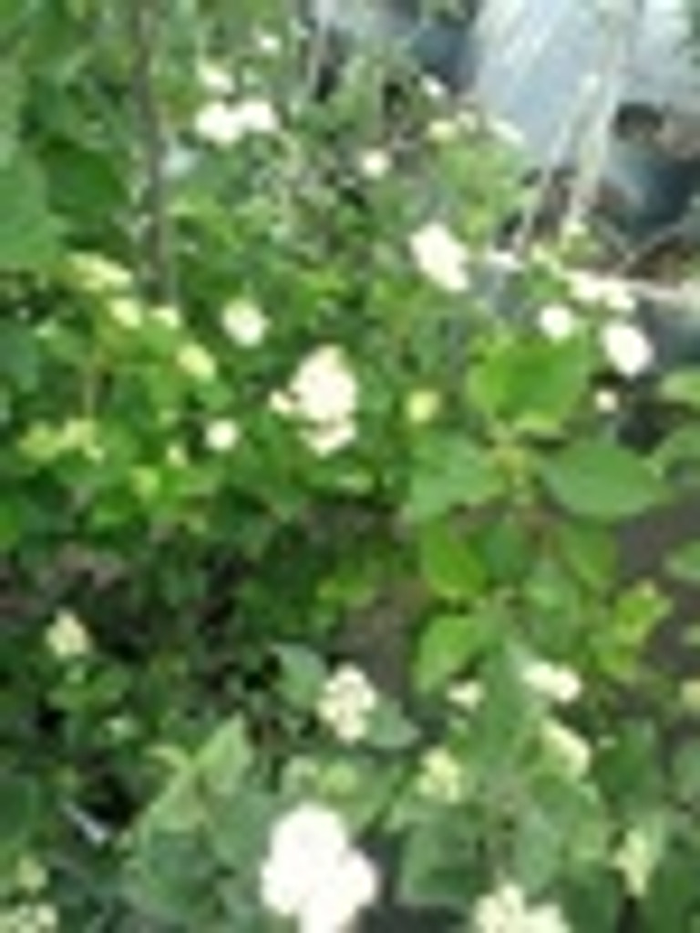 Viburnum dentatum Arrowwood Viburnum