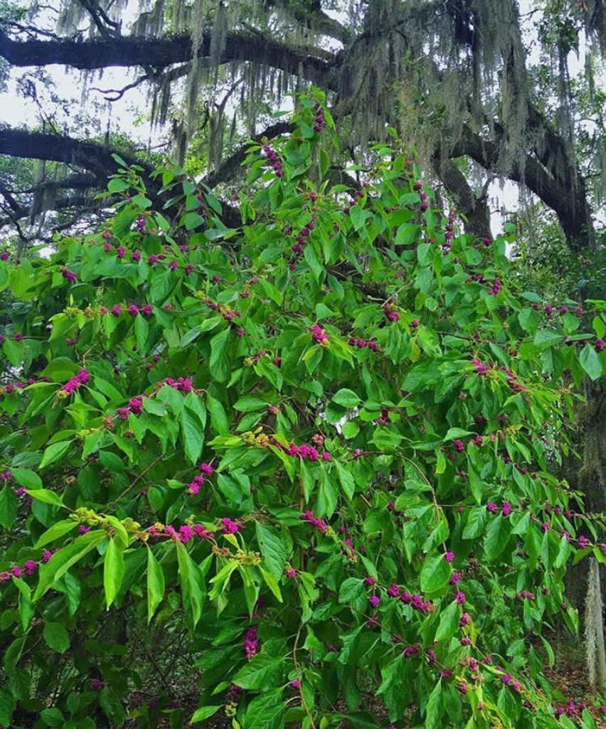 Callicarpa americana Beautyberry