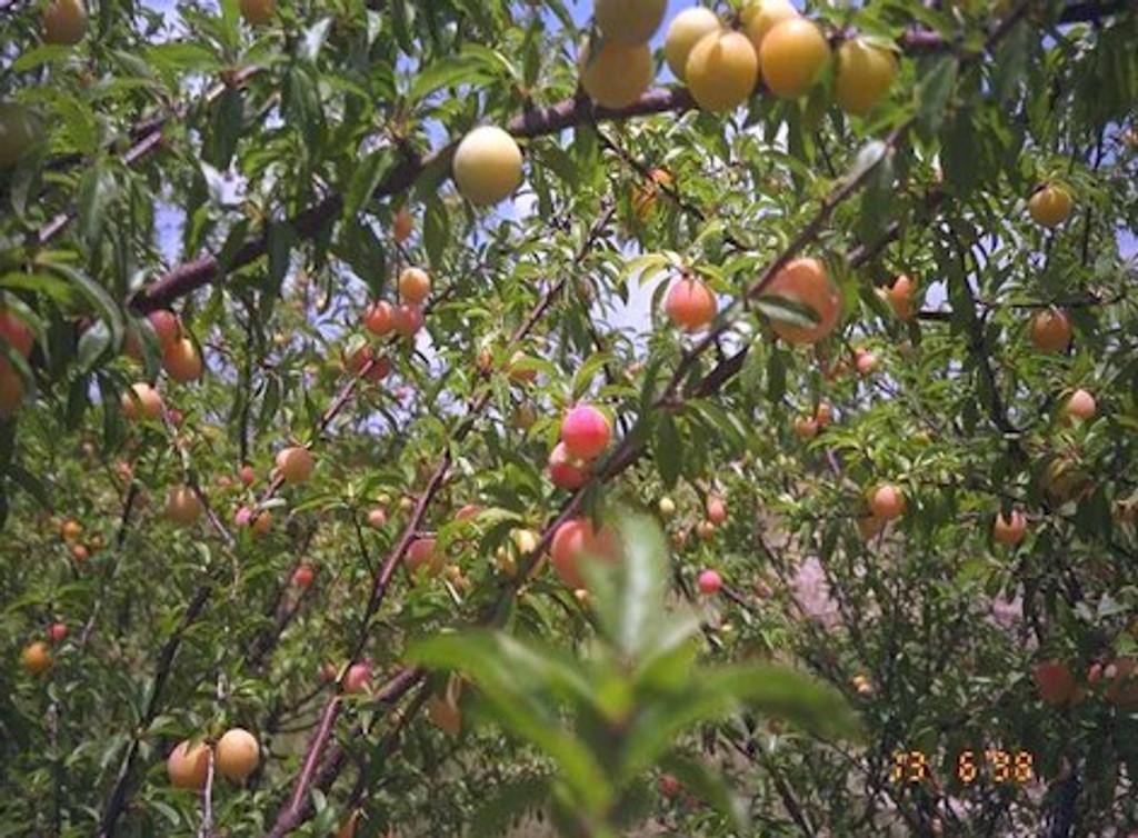 Prunus angustifolia 'Guthrie' Plum SOLD OUT