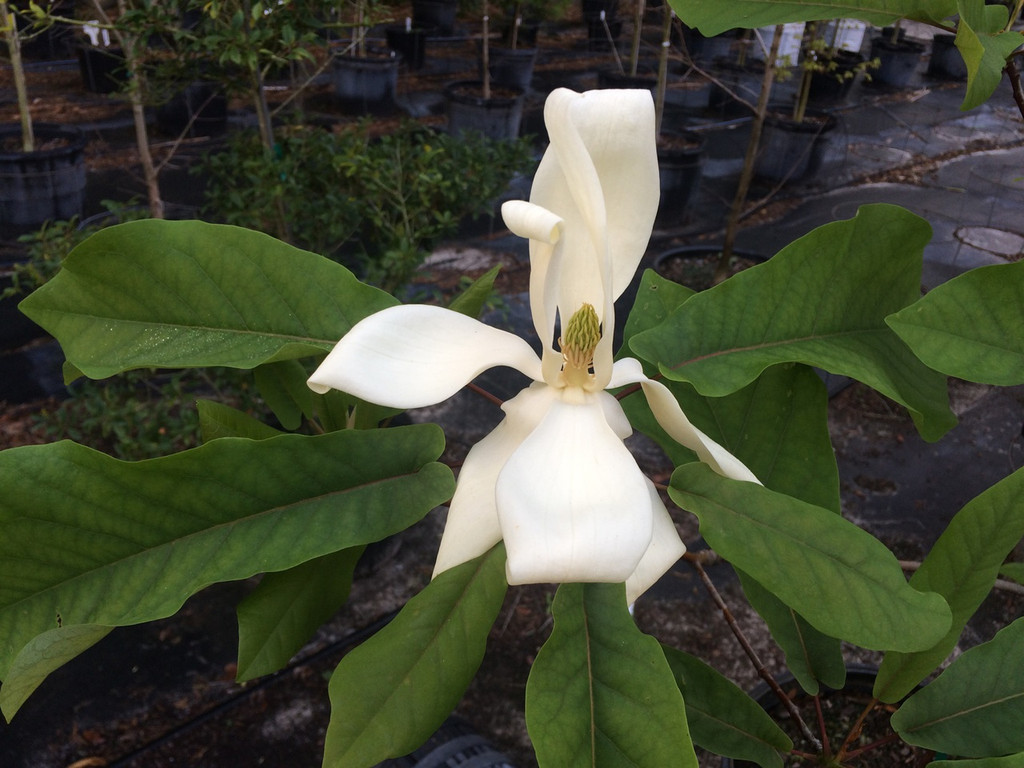 Magnolia pyramidata Pyramid Magnolia
