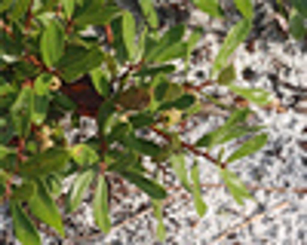 Quercus pumila Runner Oak 1gallon