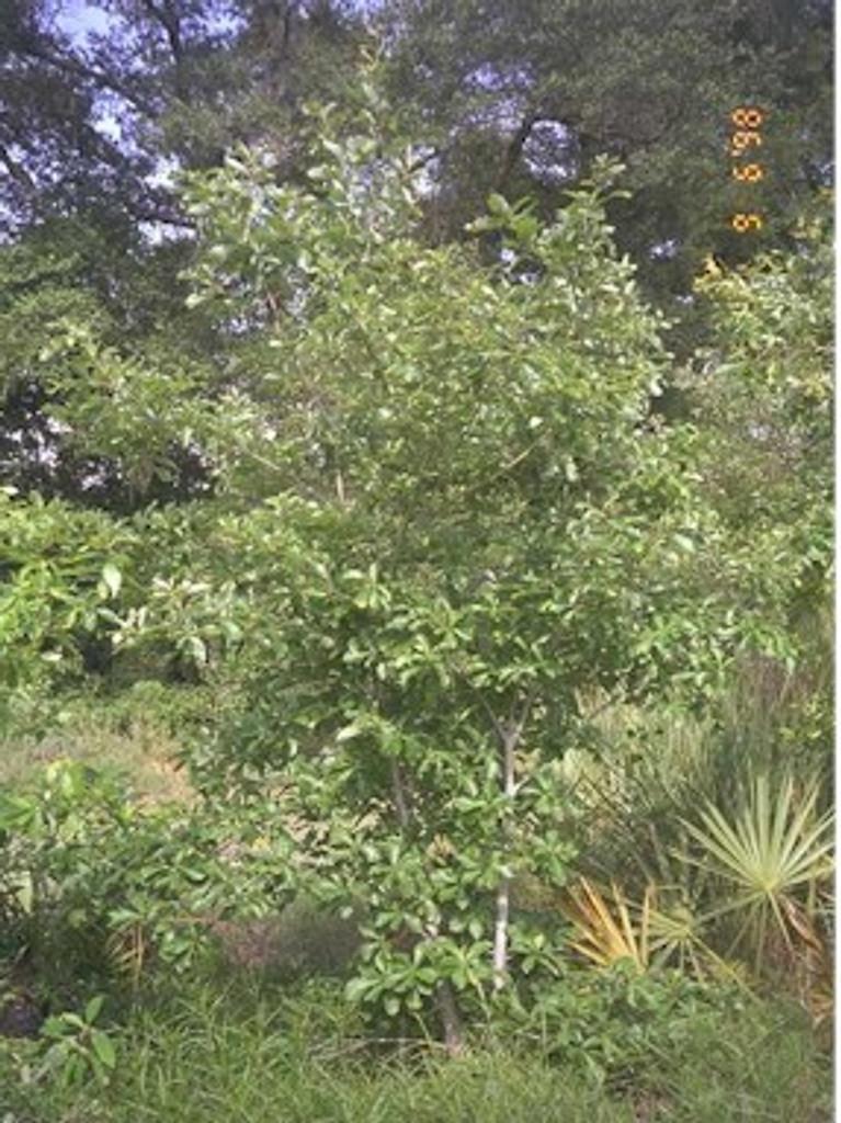 Quercus prinoides Dwarf Chinquapin Oak