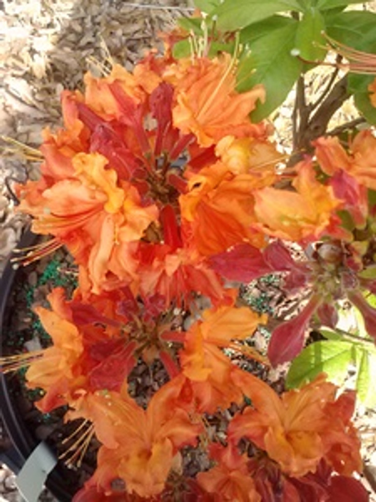 Rhododendron x Nathan Bedford Forrest 1gallon