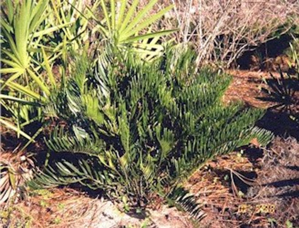 Zamia pumila Coontie (small)