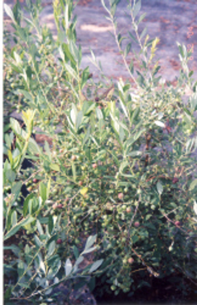 Vaccinium stamenium Deerberry 1gallon