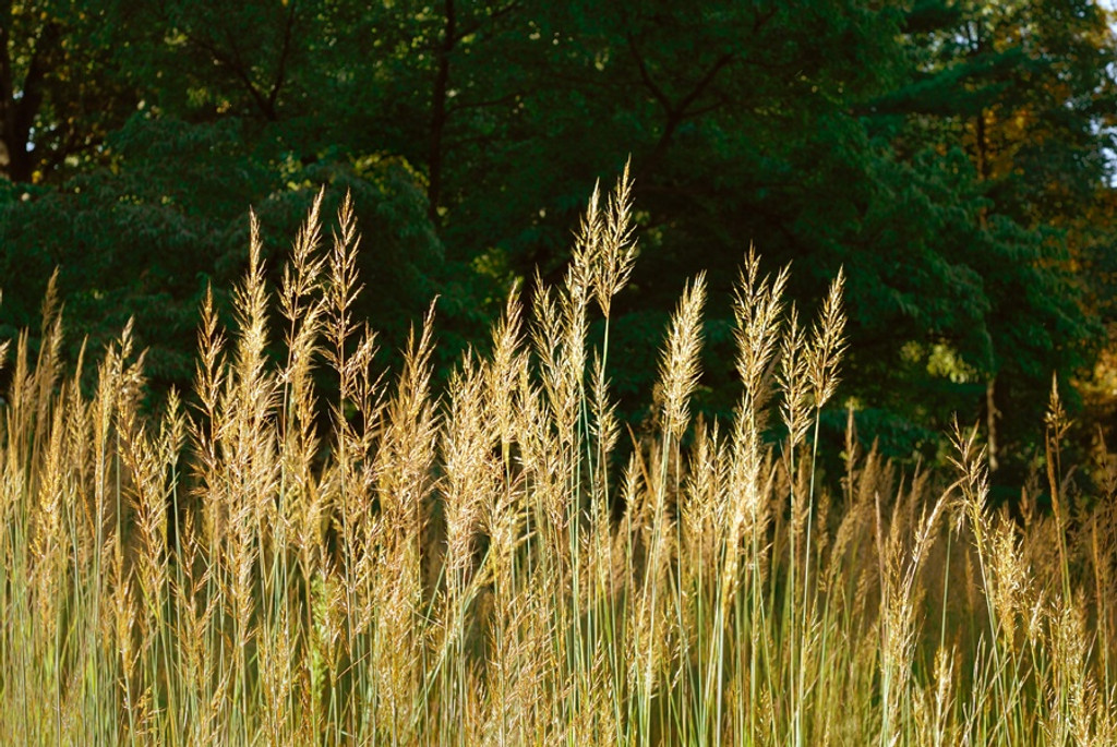 Sorghastrum nutans Yellow Indiangrass