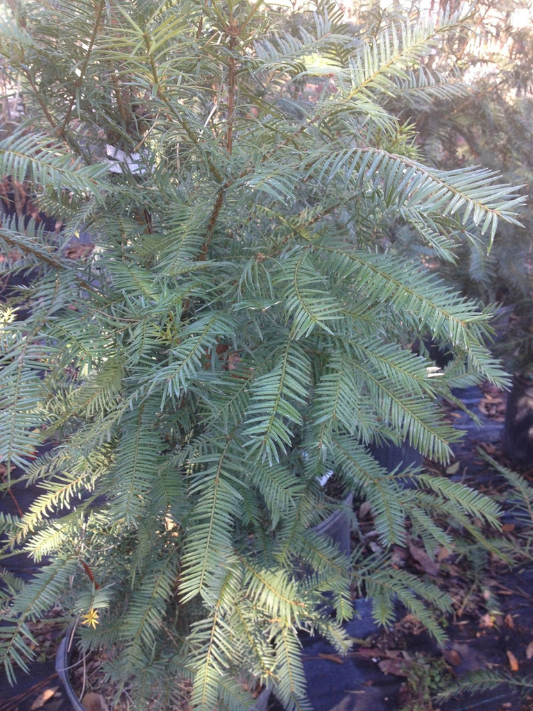 Torreya taxifolia Florida Torreya unsexed 1gallon