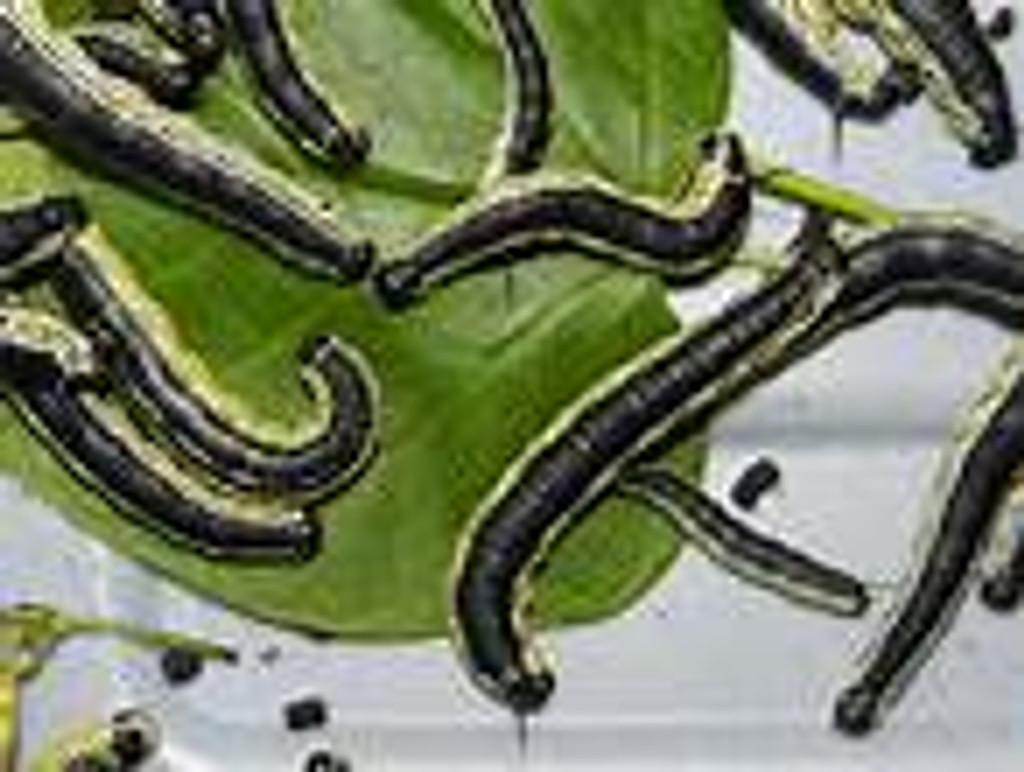 Catalpa bignoides Southern Catalpa Tree