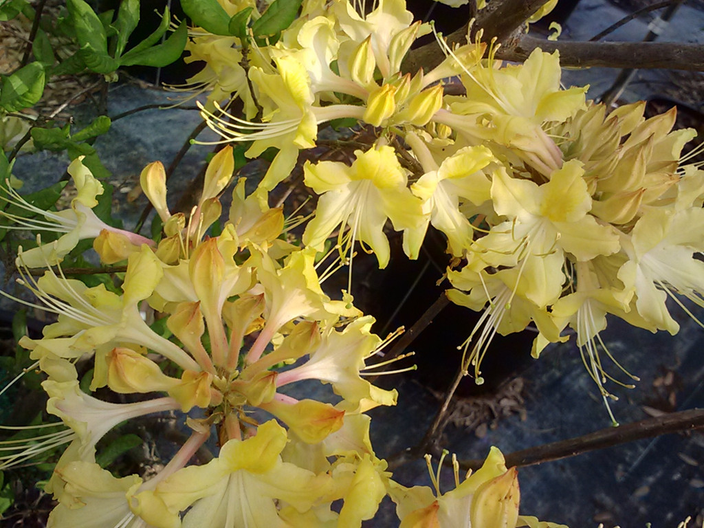 Rhododendron x 'Clear Creek'
