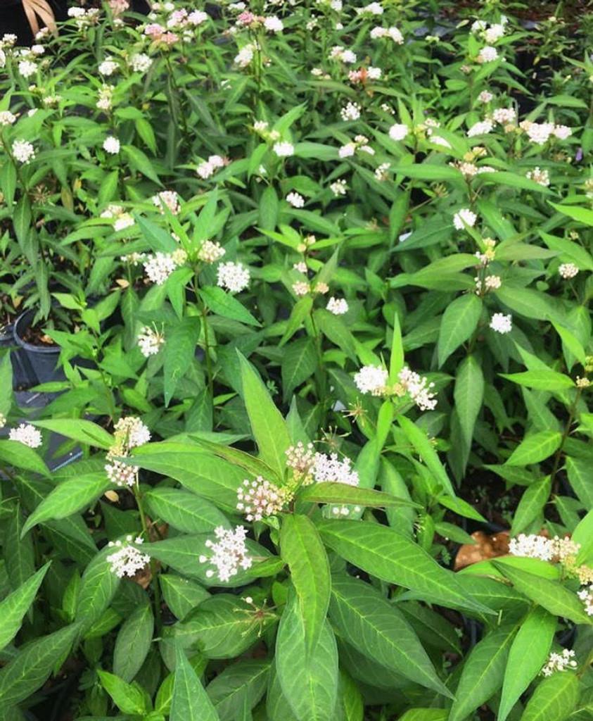 Asclepias perennis (White Swamp Milkweed) 1gallon
