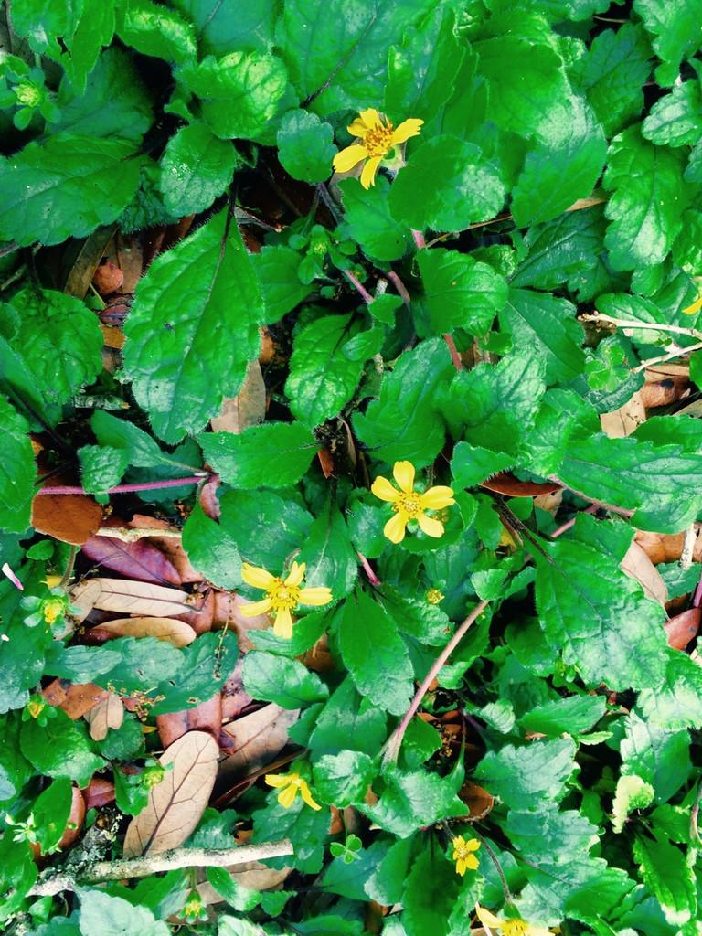Chrysogonum virginianum (Green & Gold)