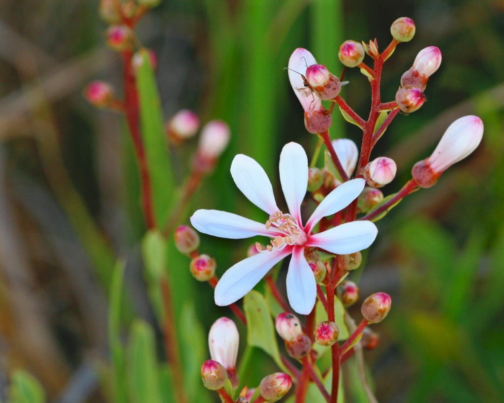 Befaria racemosa Tarflower 1gallon