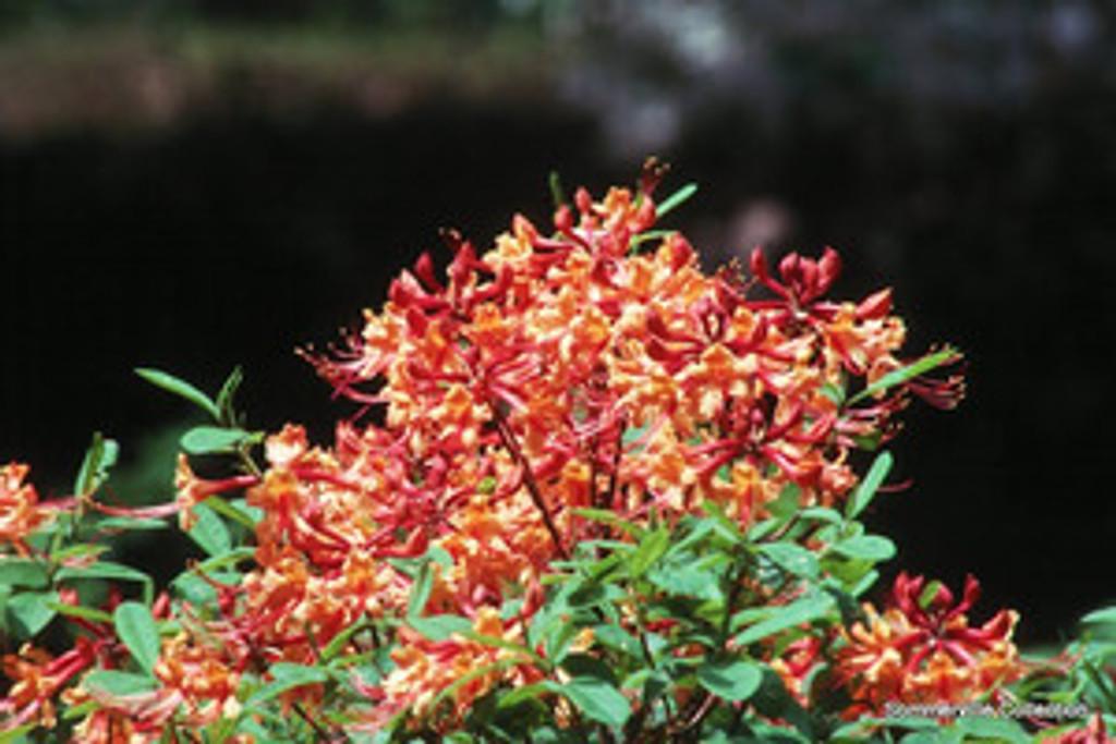 Rhododendron austrinum Florida Flame Azalea 3g