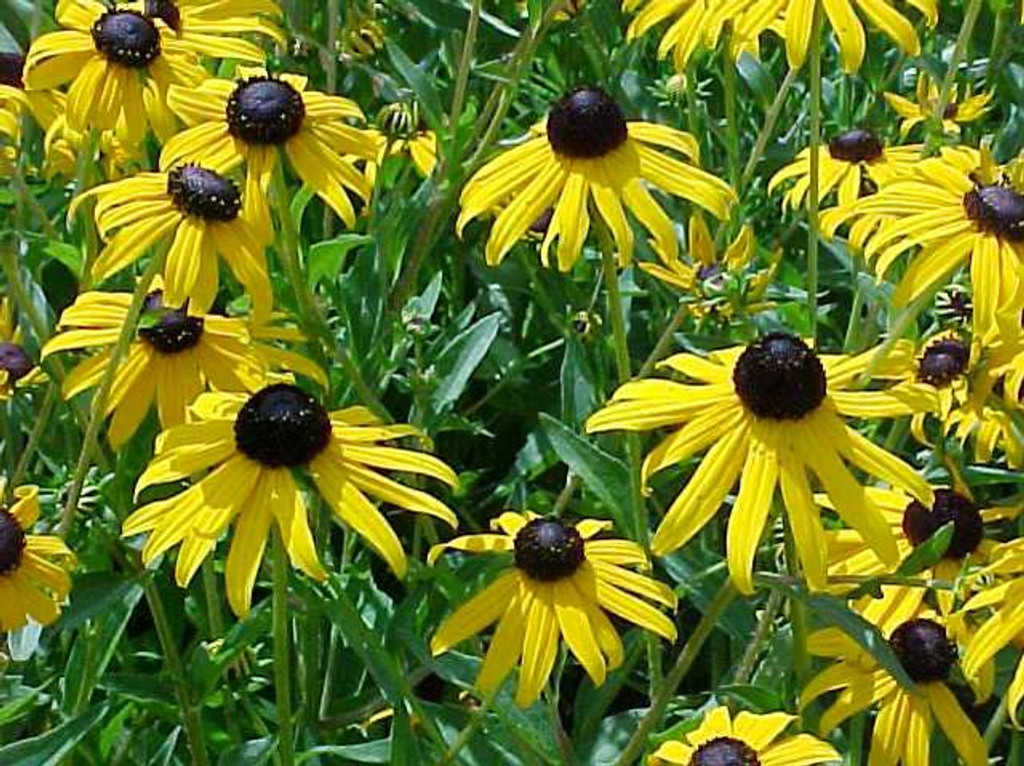 Rudbeckia fulgida (Black eyed Susan Orange Coneflower) pints