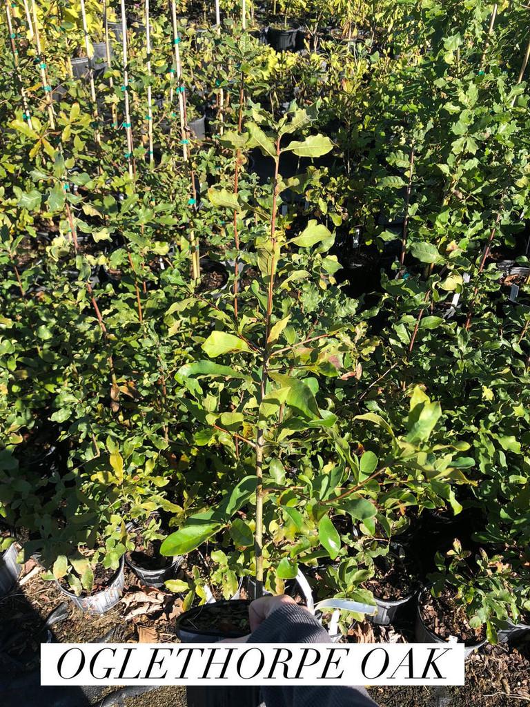 Quercus oglethorpensis (Oglethorpe Oak) 1gallon