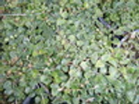 Mitchella repens Partridge Berry 1gallon