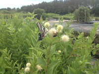 Cephalanthus occidentalis Buttonbush