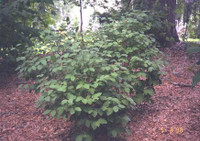 Dirca palustris Leatherwood