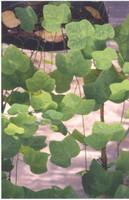 Passiflora lutea Dwarf Passion Vine 1g