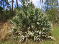 Serenoa repens 'Cinera' Silver Saw Palmetto