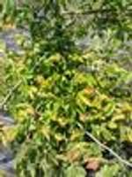 Carpinus caroliniana American Hornbeam