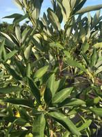 Magnolia virginiana Sweetbay Magnolia