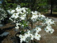 Cornus florida Weaver 1gallon