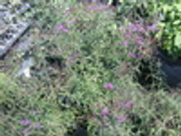 Vernonia angustifolia Ironweed 1gallon