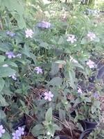 Ruellia caroliniensis Low Wild Petunia