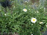 Leucanthemum vulgare Oxeye Daisy