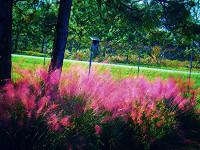 Muhlenbergii capillaris Muhly Grass
