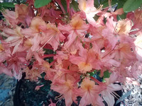 Rhododendron x Jeb Stuart 1gallon Sold out