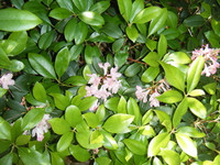 Rhododendron minus (Piedmont Rhododendron) 1 gallon SOLD OUT