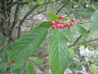 Rhamnus caroliniana Carolina Buckthorn