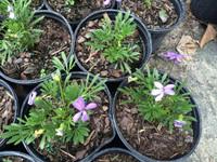 Viola pedata (Bird's foot Violet) 1gallon