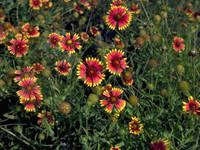 Gaillardia puchella Blanket Flower 1gallon