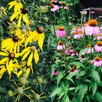 Companion Plants: Prairie Coneflower & Echinacea pupurea