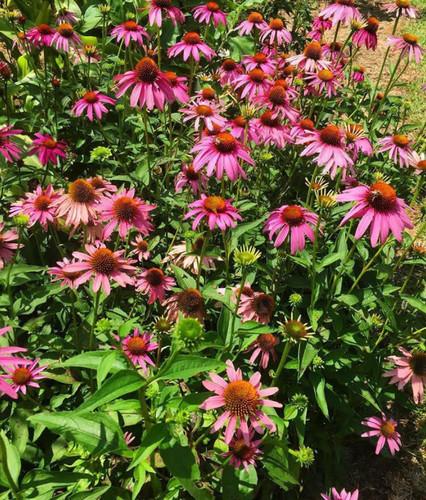 Echinacea purpurea Purple Coneflower 1gallon