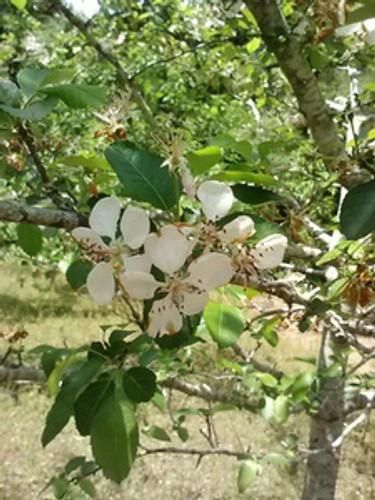 Malus angustifolia Crabapple 1gallon