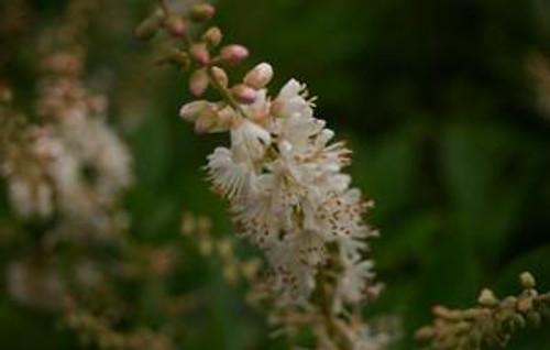 Clethra alnifolia Summersweet 1gallon