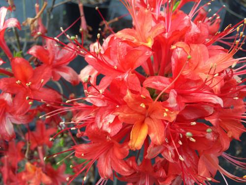 Rhododendron flammeum Mallory 1gallon