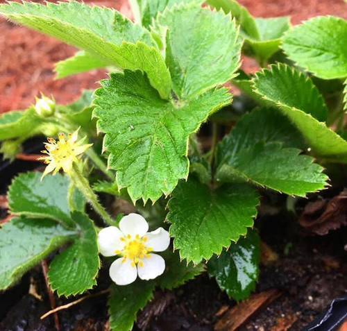 Fragaria virginiana Native Strawberry