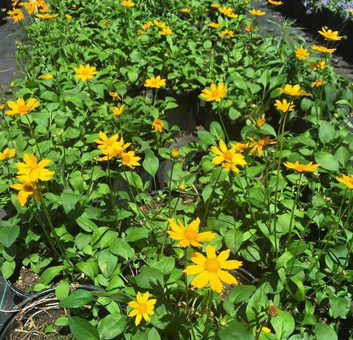 Coreopsis auriculata Earred Coreopsis 1gallon